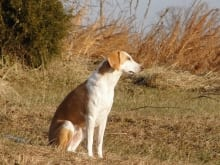 american_foxhound_1